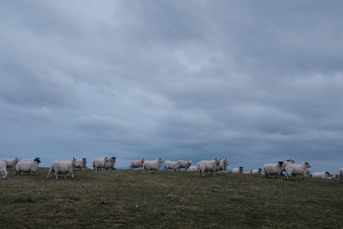 sheep benbecula outer hebrides crofting
