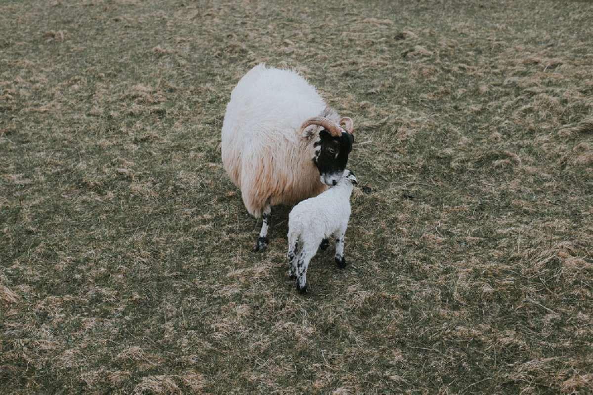 sheep mother lamb benbecula outer hebrides crofting