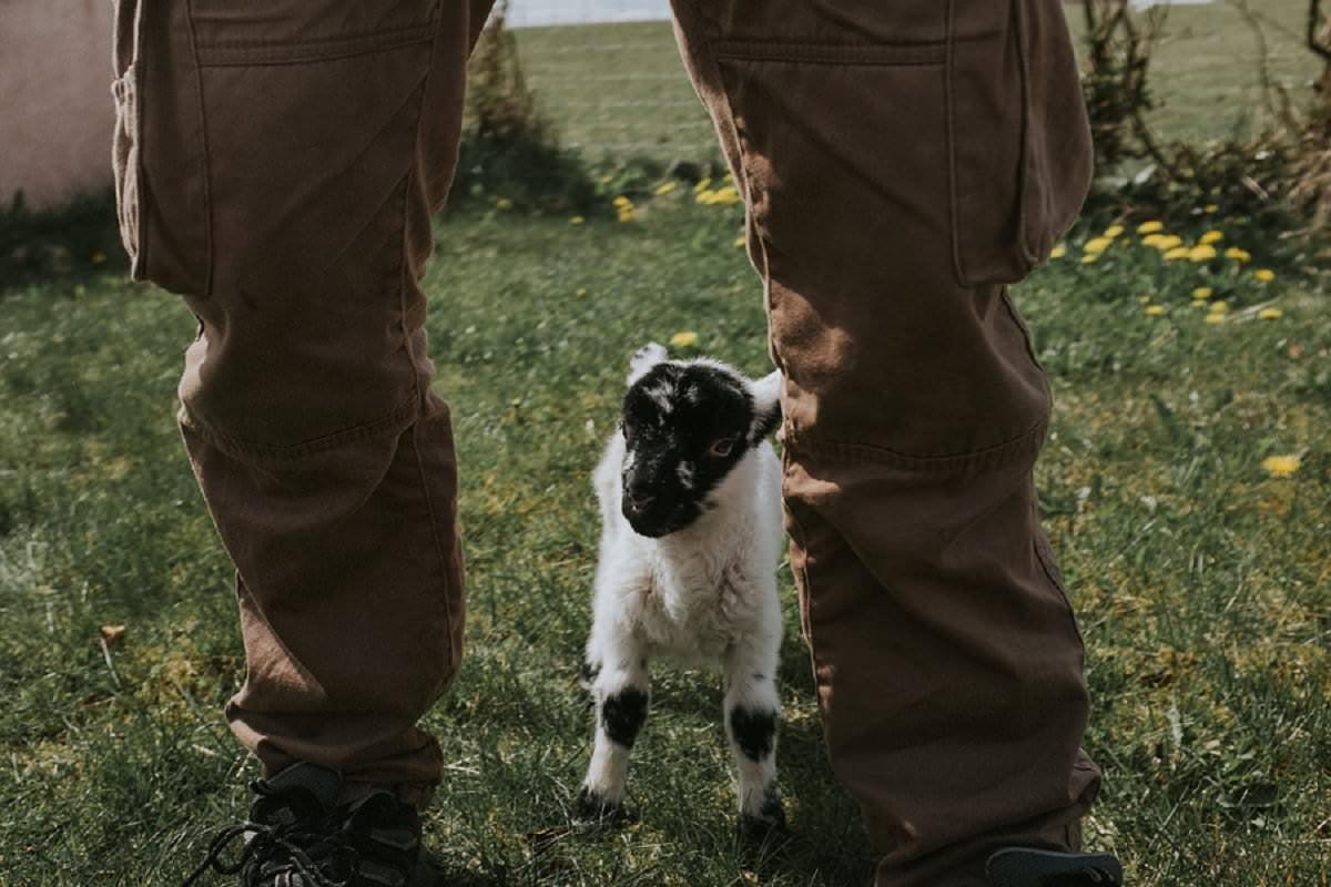 newborn lamb isle of benbecula western isles